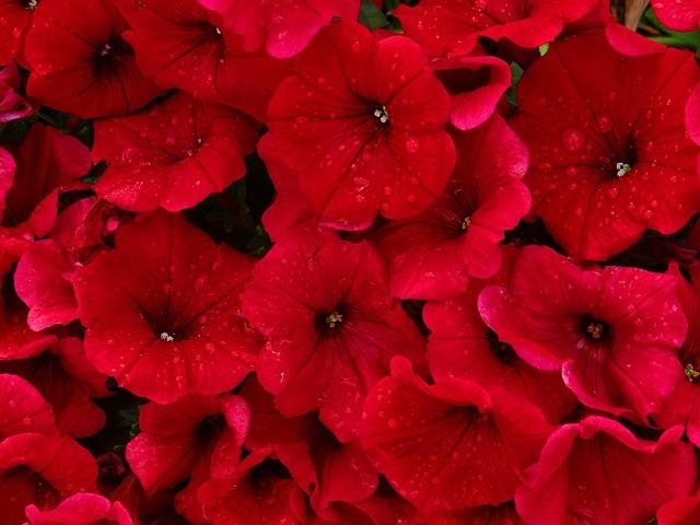 Boots Girl Wallpaper Red Petunias Rain 183 Free Photo On Pixabay
