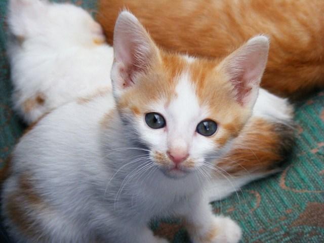 Kitten Pussycat Cats Animals Pet