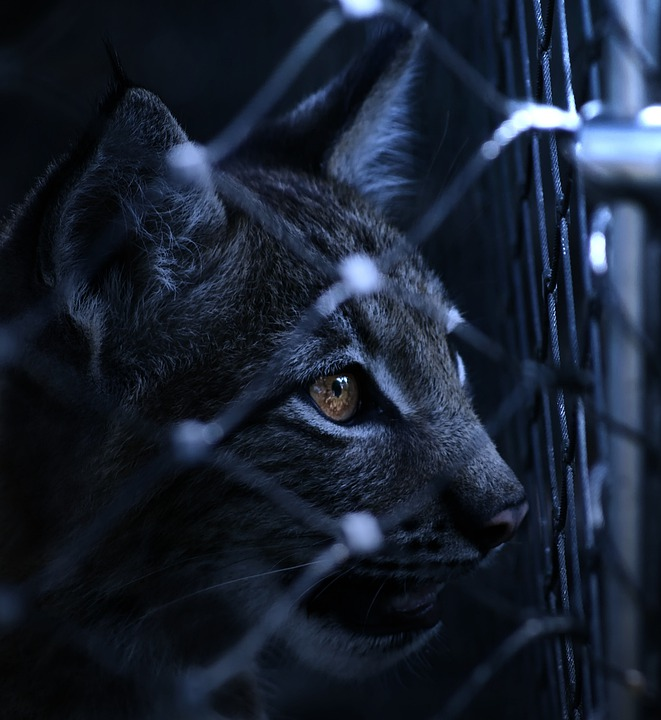 Cat Wallpaper Hd Lynx Caught Imprisoned 183 Free Photo On Pixabay