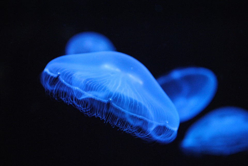 Blue Wallpaper Iphone 6 Animals Jellyfish Blue 183 Free Photo On Pixabay