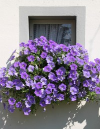 Petunia Balcony Plants Ornamental  Free photo on Pixabay