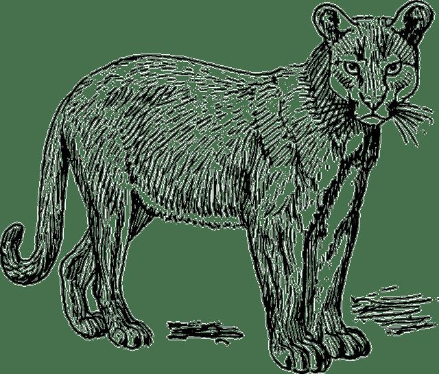 Puma Wildcat Carnivore · Free vector graphic on Pixabay