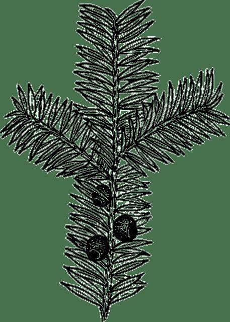 Nadeln Tanne Biologie · Kostenlose Vektorgrafik auf Pixabay
