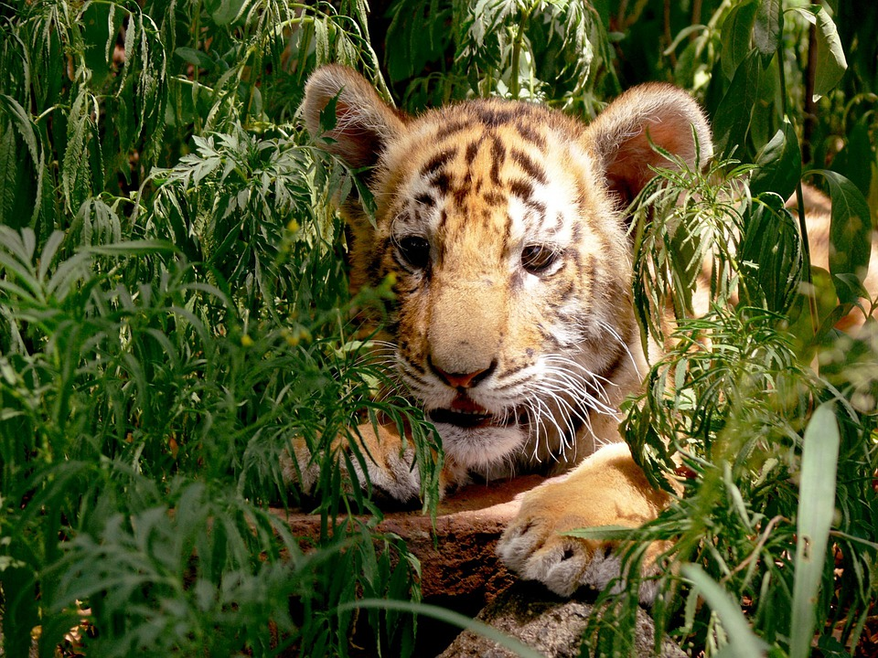 Facebook Girl Wallpaper Free Download Tiger Cub Hiding 183 Free Photo On Pixabay