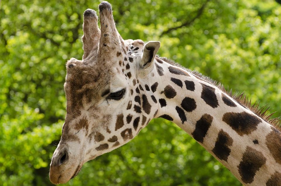 Free photo Giraffe Animal Zoo Cute Wild  Free Image