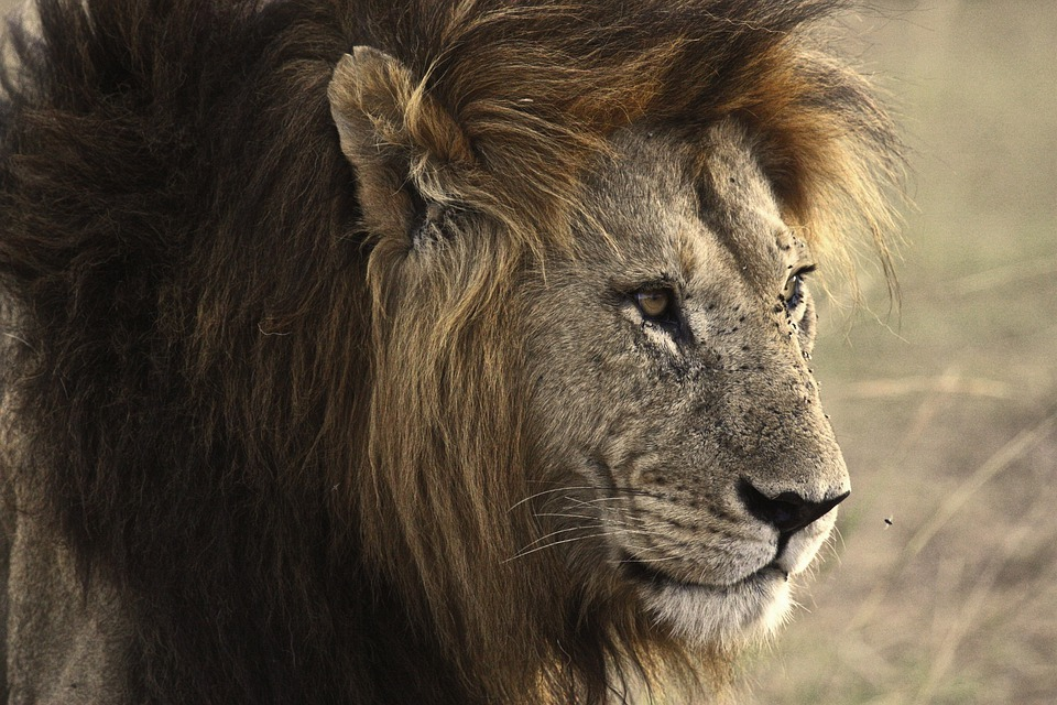 Lion Animal Wallpaper Lion Cat Safari 183 Free Photo On Pixabay