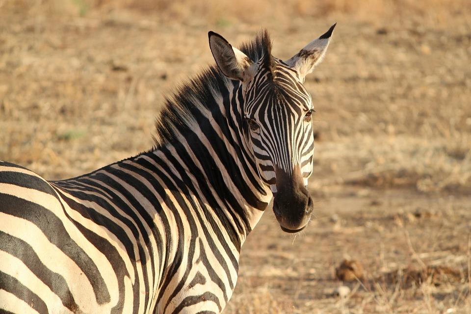 Zebra, Crosswalk, Wild Animal, Safari, Tanzania