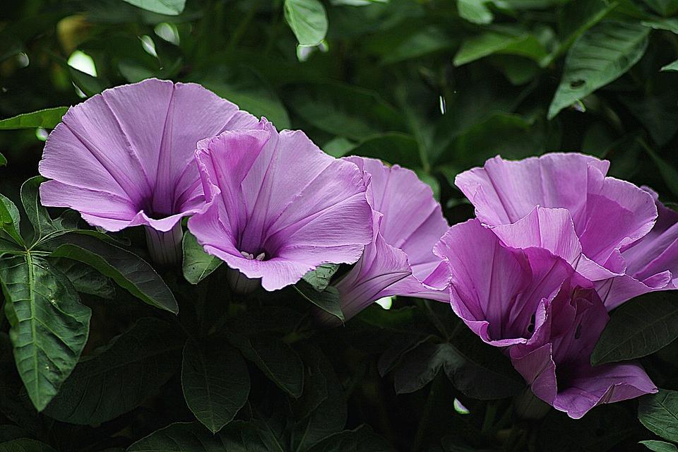 Morning Glory Floral Plants Free Photo On Pixabay