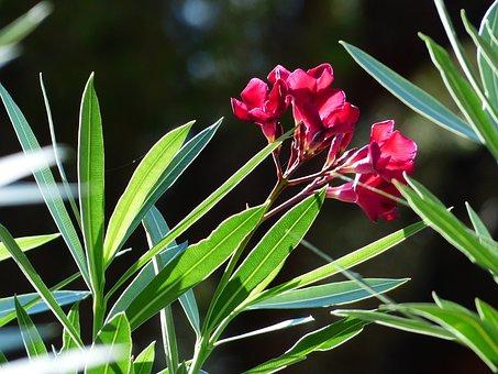 Oleander, Flower, Blossom, Bloom, Red
