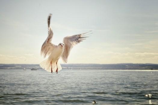 Gabbiano, Volo, Volano, Lago, Lago Di Costanza, Uccello