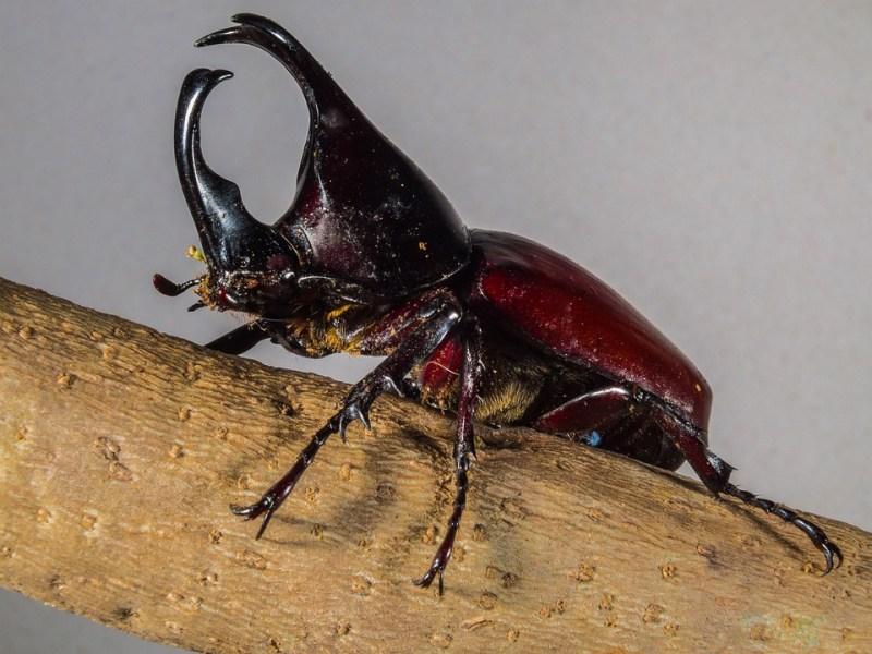 Escarabajos Tropicales, Escarabajo Rinoceronte, ¿Cuál es el animal más fuerte de la Tierra?