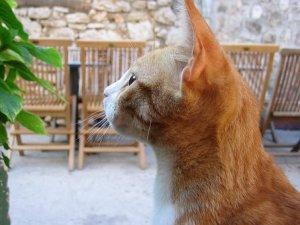 猫, ペット, 動物, オレンジ