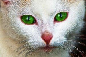 ホワイト, 猫, 顔, 肖像画, かわいい猫, 猫の顔, 動物, 猫の目