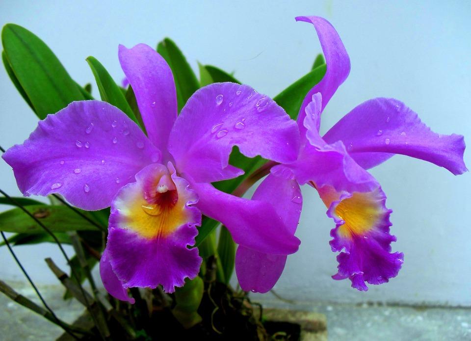 Gratis foto Bunga Anggrek Indonesi  Gratis afbeelding
