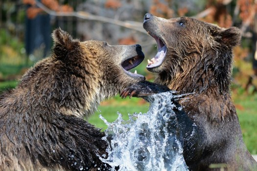 Grizzly, Bears, Playing, Sparring, Grizzlies, Bear, Fun