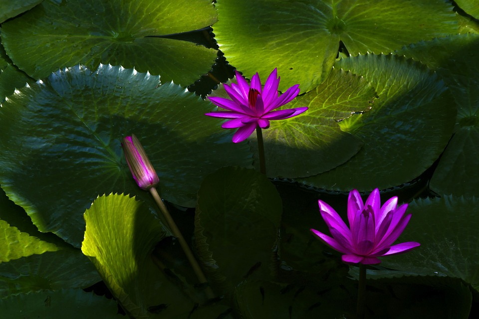 lotus in water plant diagram wiring for 2002 jeep grand cherokee laredo free photo flowers aquatic plants auto electrical