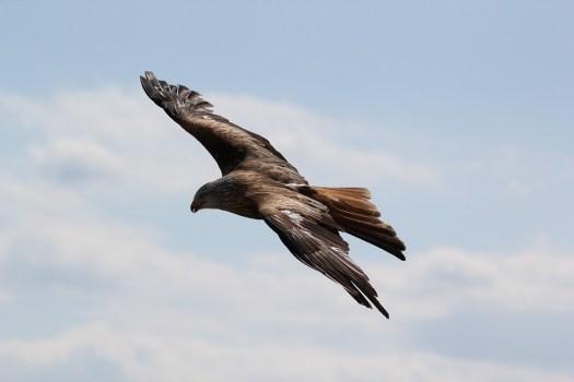 Eagle, Uccelli, Uccello Rapace, Impennata, Vento