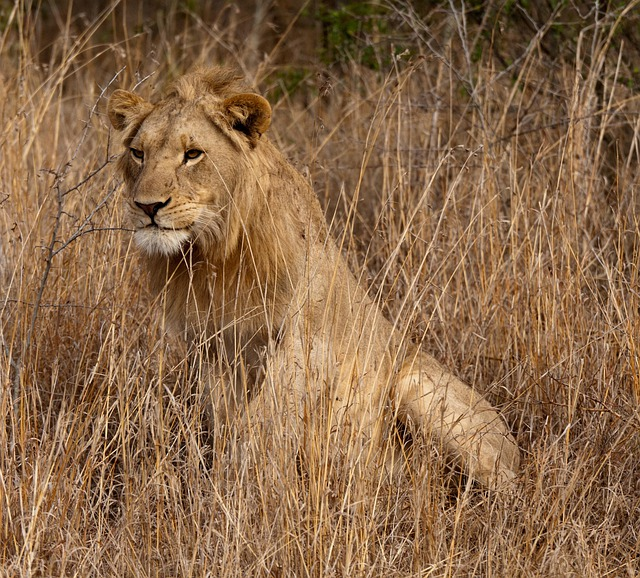 Cute Cat For Wallpaper Free Photo Lion South Africa Savannah Free Image On