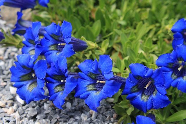Free photo Gentian Alpine Flower Flowers  Free Image on Pixabay  238644