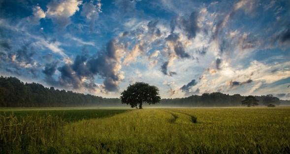 ツリー, フィールド, トウモロコシ畑, 自然, 風景, 空, 雲, 地平線, 農村, 田舎, 農地, 農業