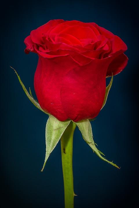 rose red free photo