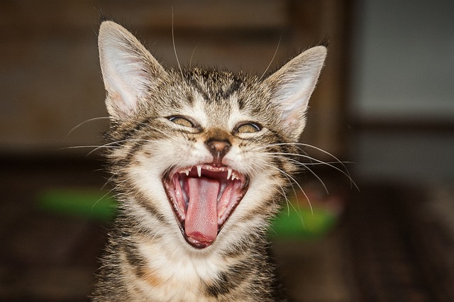 Tooth Cute Wallpaper Free Photo Tiger Room Cat Yawn Tooth Free Image On