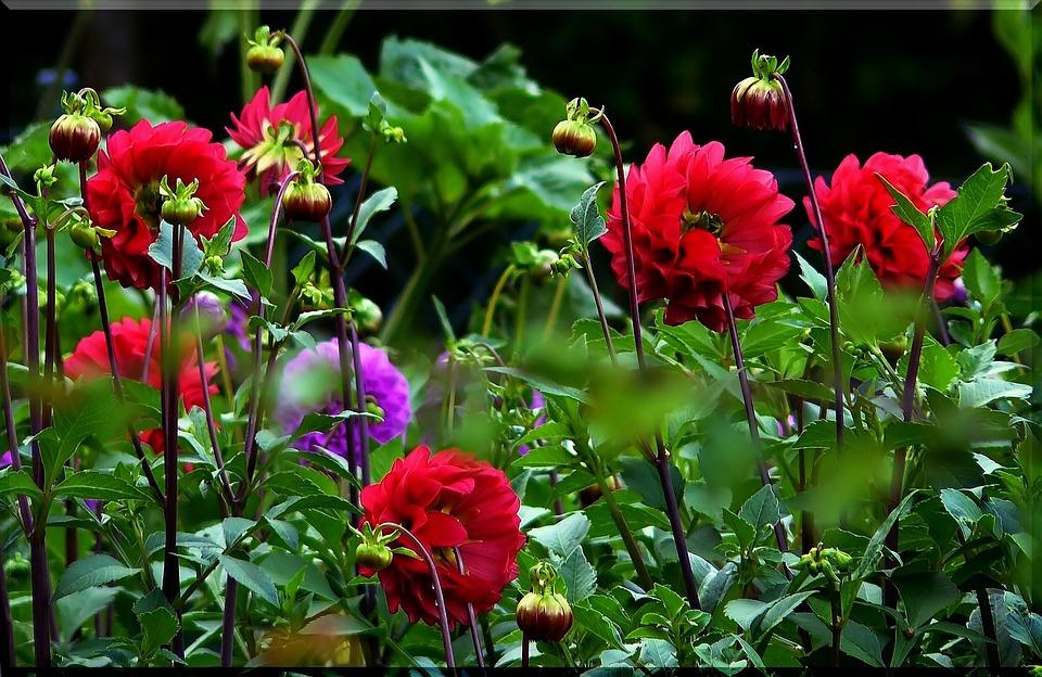 Photo Gratuite Dahlias Dahlia Rouge Fleur Image