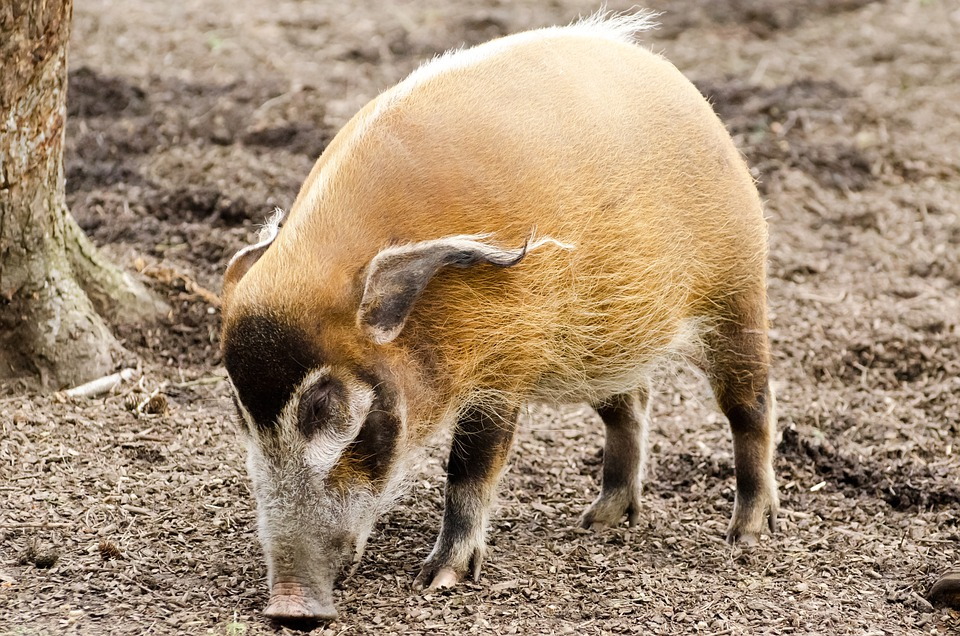 Cute Piglets Wallpaper Free Photo Africa African Animal Boar Free Image On