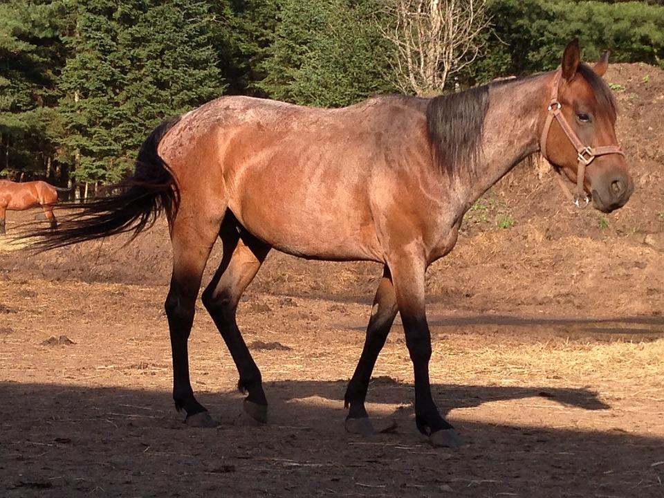 Free photo Quarter Horse Horse Walking  Free Image on