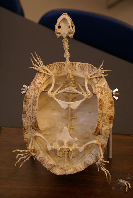 Free Photo Turtle Skeleton Fossil Animal Free Image On Pixabay 281073