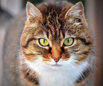 Cat, Animale Domestico, Animale