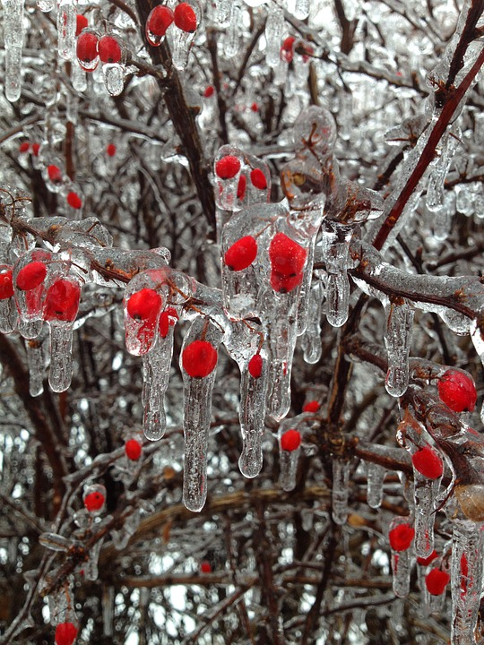 Fall Plate Wallpaper Free Photo Berries Ice Winter Buds Red Free Image