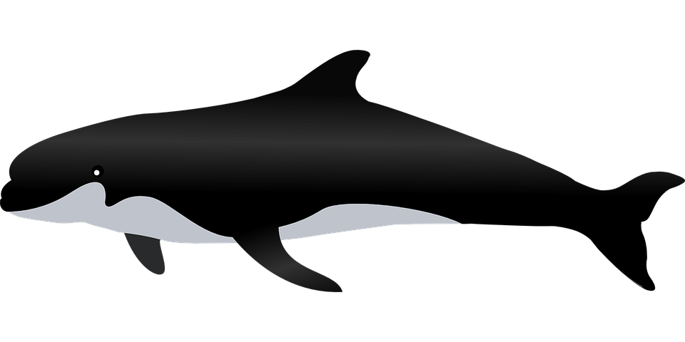 Free vector graphic Killer Whale Whale Sea Animal