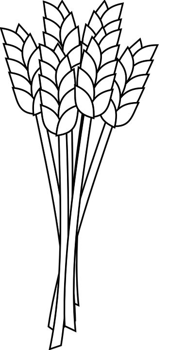 Wheat Grain Agriculture · Free vector graphic on Pixabay