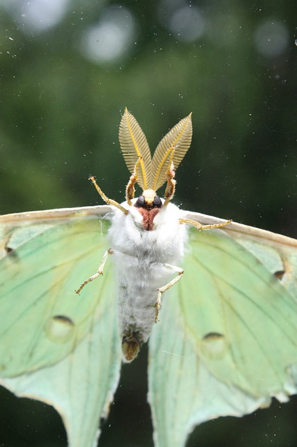 Luna Moth Insect Bugs Free Photo On Pixabay