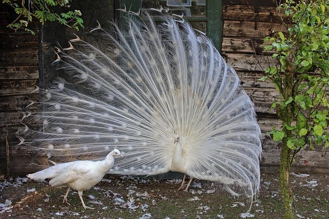 White Peacock Bird  Free photo on Pixabay