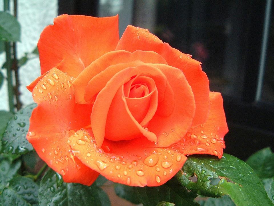 Kostenloses Foto Rosen Blumen Blte Lachsfarben  Kostenloses Bild auf Pixabay  330532