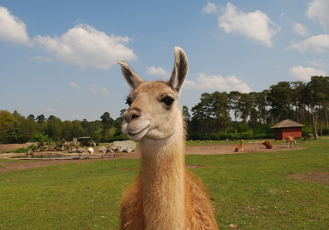 Cute Wallpaper Free To Use Free Photo Llama Lama Fur Animal Wildlife Free
