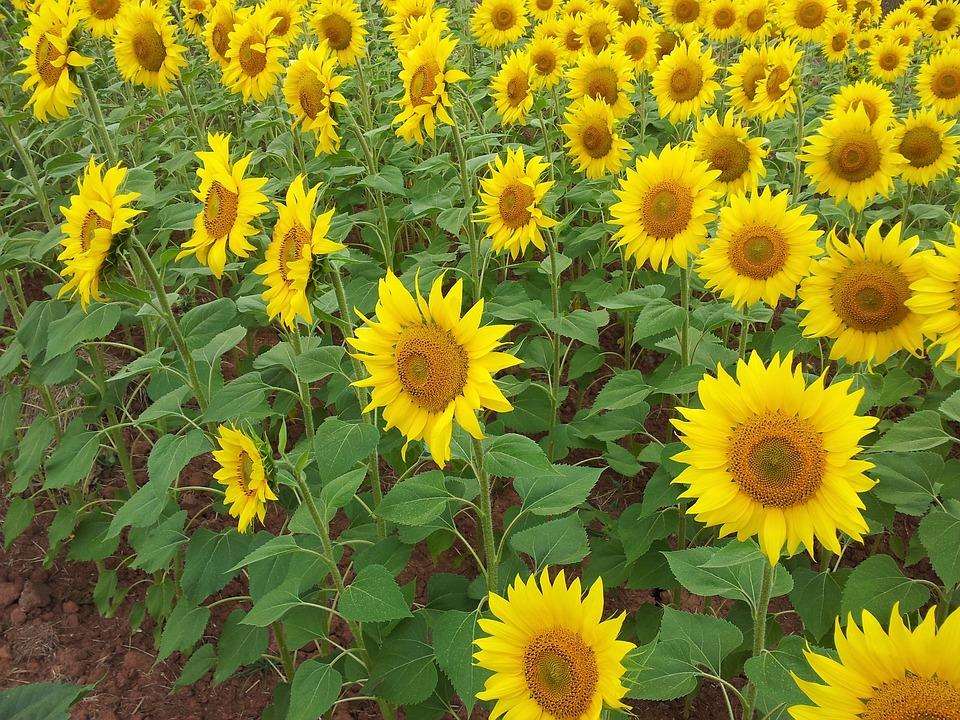 Fall Coffee Wallpaper Samsung 4 Sunflower Sunflowers Girasol 183 Free Photo On Pixabay