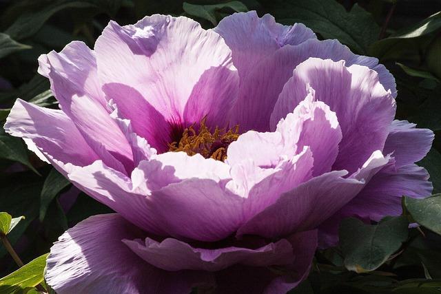 Free Photo Peony Flower Nature Flora Free Image On