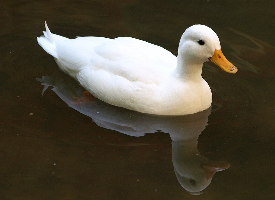 Gambar Bebek Berenang