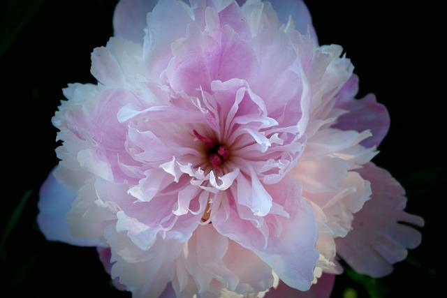 Fleur Pivoine Rose  Photo gratuite sur Pixabay