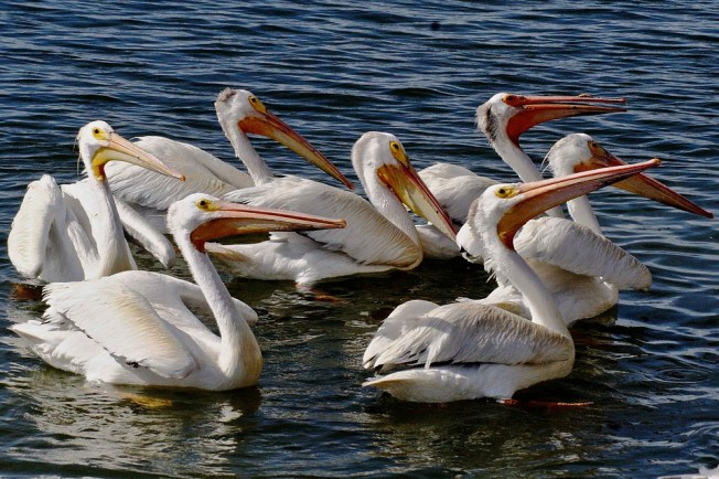 White, American, Aerial, Pelican, Birds, Animals, Fauna