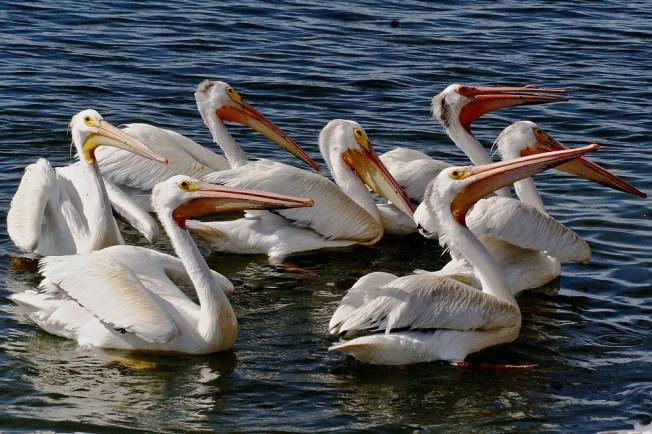 White, American, Aerial, Pelican, Birds, Animals, Fauna