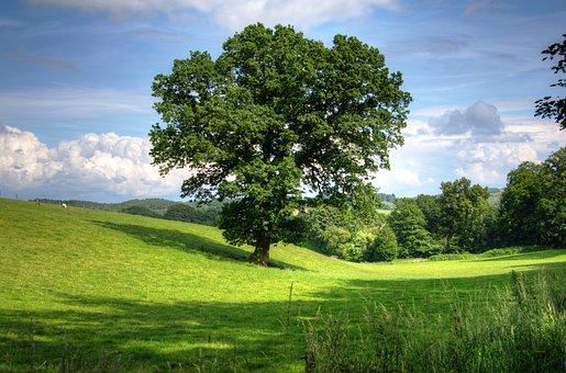 intelligent oak tree in middle of green meadow