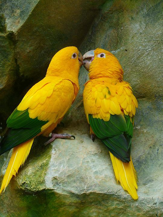 Gold Parakeets Bird Couple · Free Photo On Pixabay
