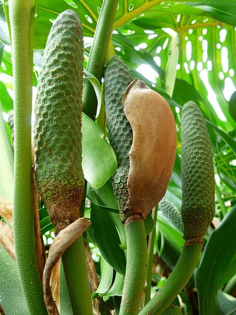 Philodendron Mekar Perbungaan  Foto gratis di Pixabay