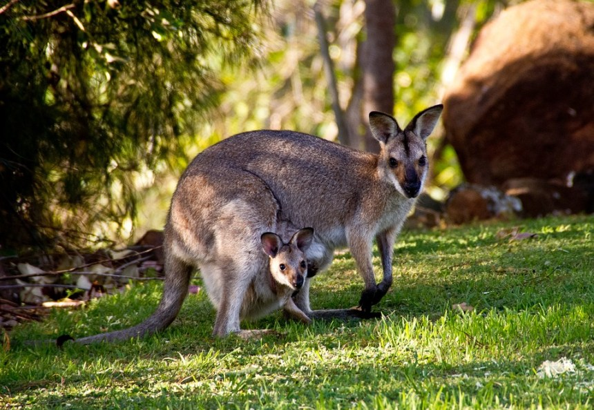 Wallaby, Canguro, Wallaby Delle Rocce Rednecked, Joey