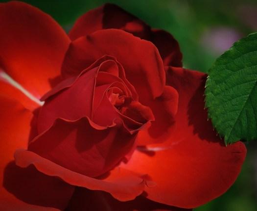 Rose, Red, Fiore, Bellezza, Romantico, Petali, Isolato