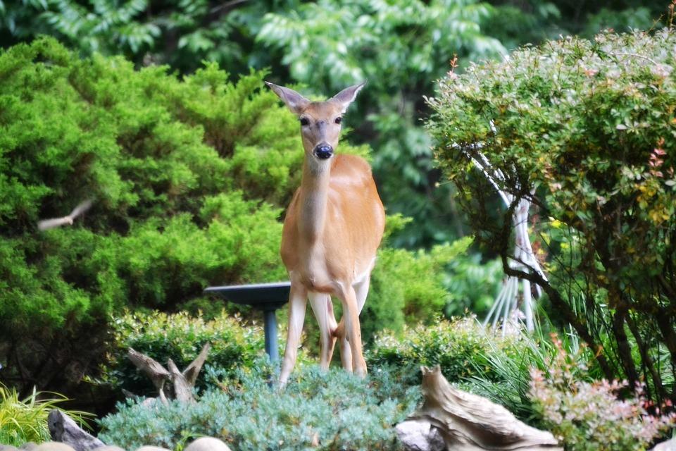 Deer, Garden, Beauty, Animal, Wildlife, Wild, Zoology
